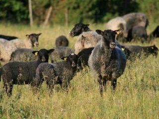 Öströö Sheep farm