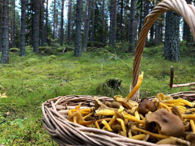 Solbacken bed breakfast mushroom picking