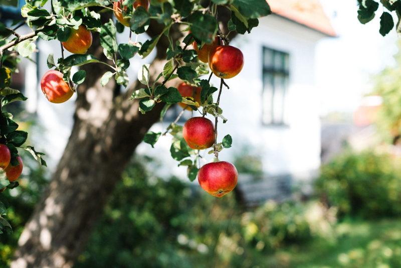 Apple tree at Urshult Hotell Bed Breakfast