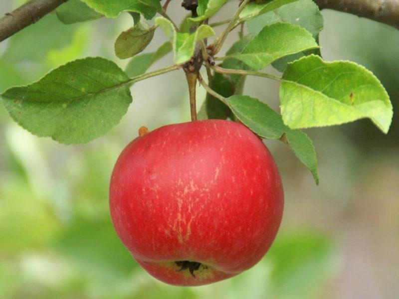 Äpple Nora Trädgård Trosa