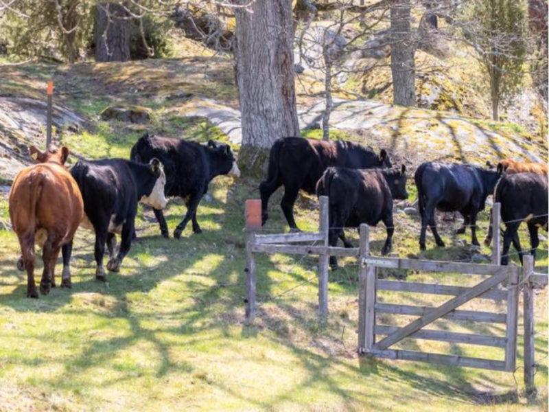 Berg's farm cows in the garden