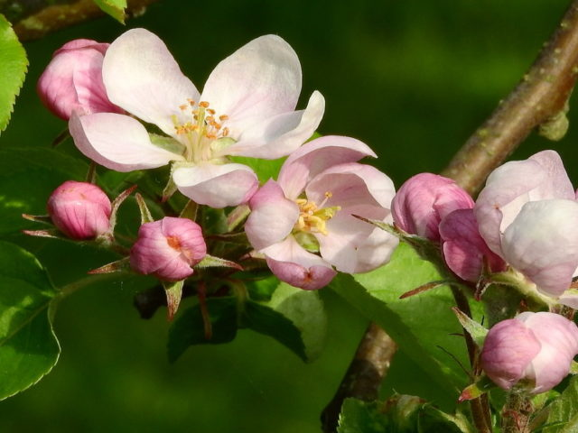 Bike ride and apple blossom