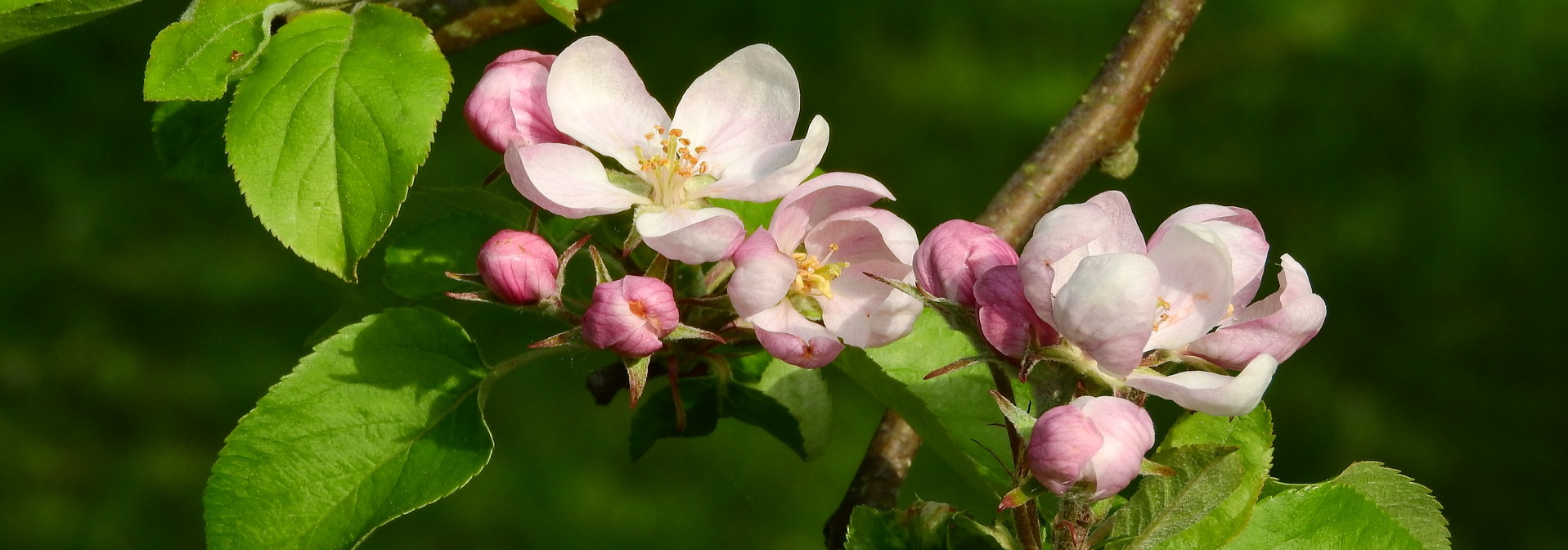 Cykeltur och äppelblom