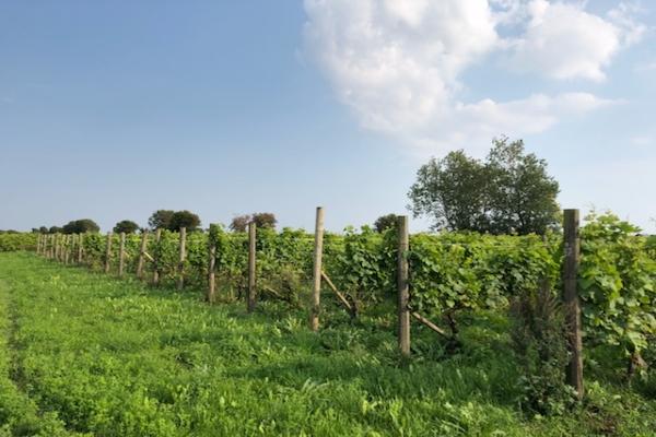 Cykla vingård