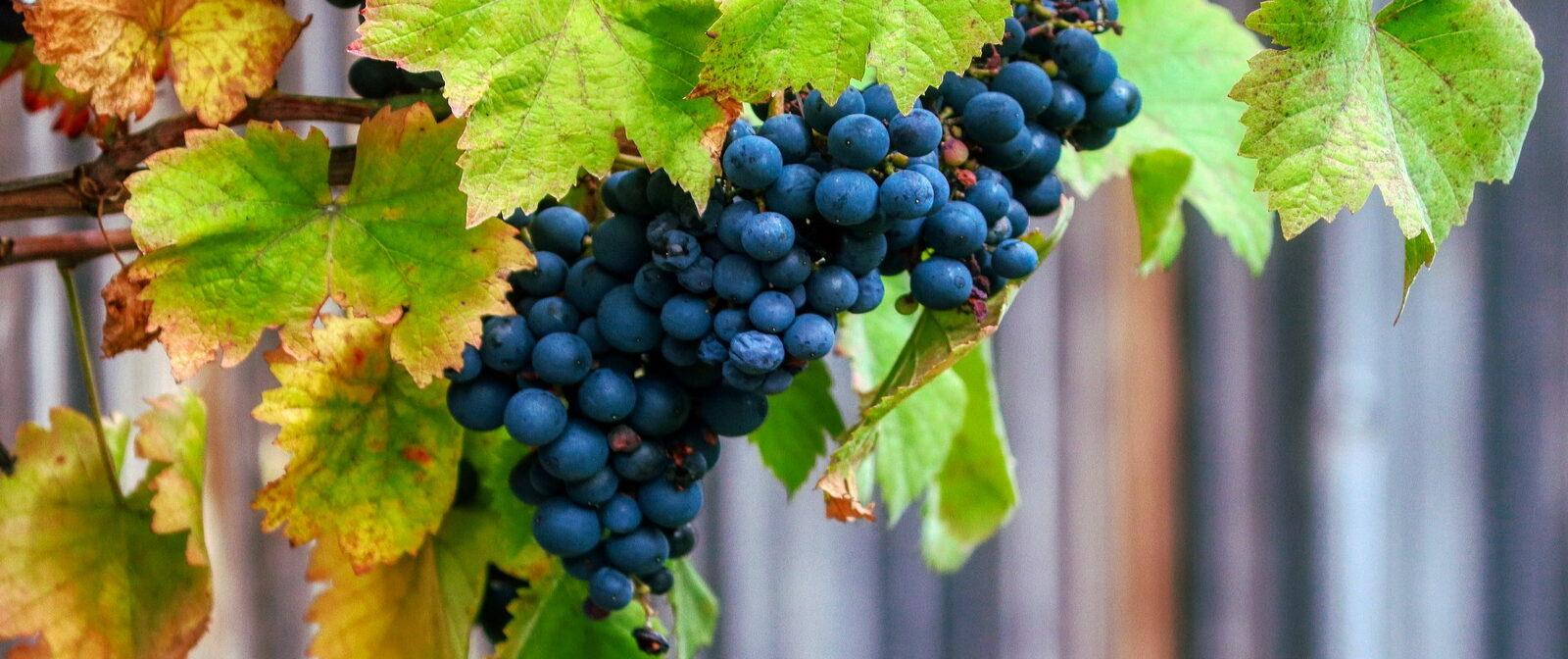 Vinduvor_vingård Green Guide