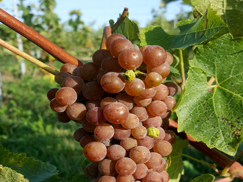 Guided bike ride for garden lovers - grapes